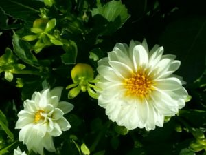 цветок бел